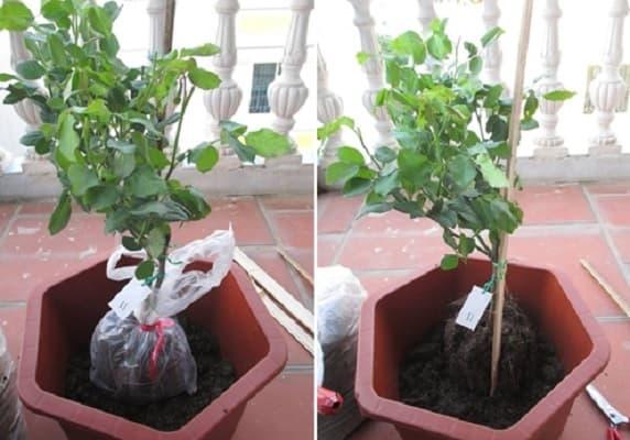 tiến hành trồng cây vào đất