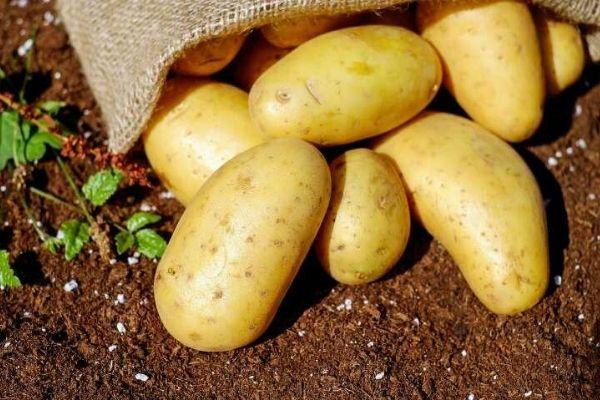 tiến hành trồng hoa vào khoai tây