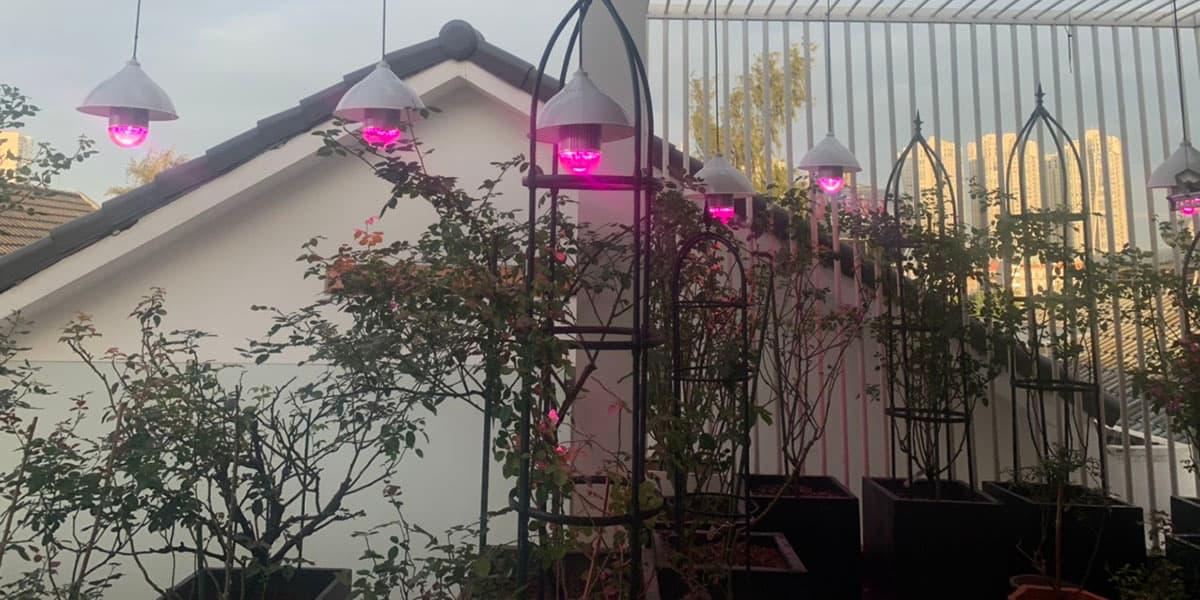 trồng cây hoa hồng bằng đèn led