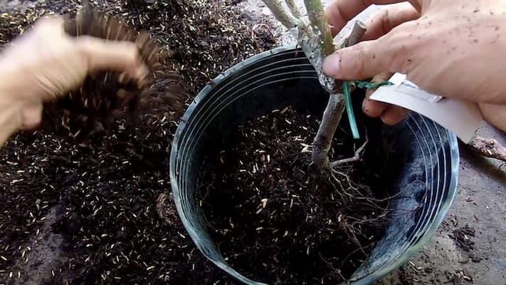 trồng cây hoa hồng rễ trần vào đất