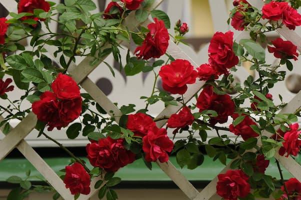 trồng hoa hồng leo pháp trên giàn