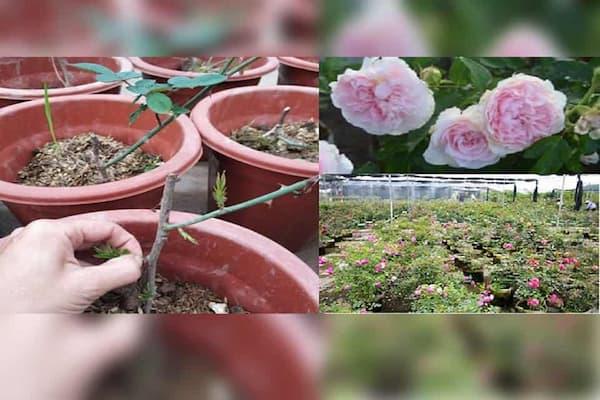 trồng hoa hồng leo sapa trong chậu
