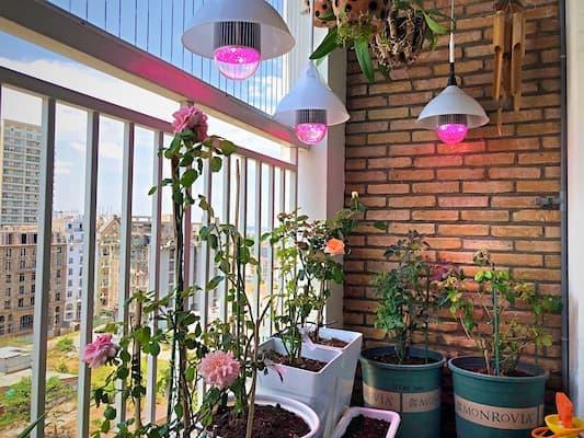 trồng hoa hồng thân gỗ bằng đèn led zako