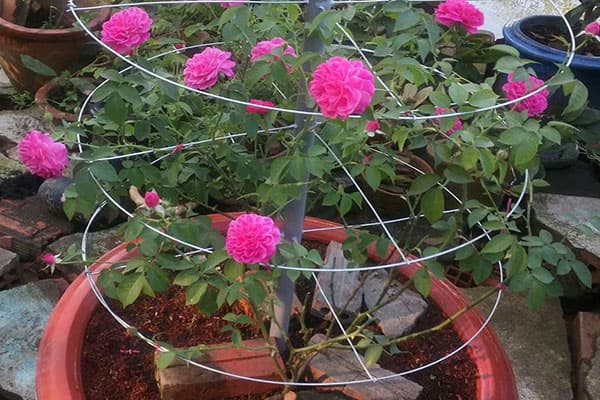 trồng hoa hồng tường vi trong chậu