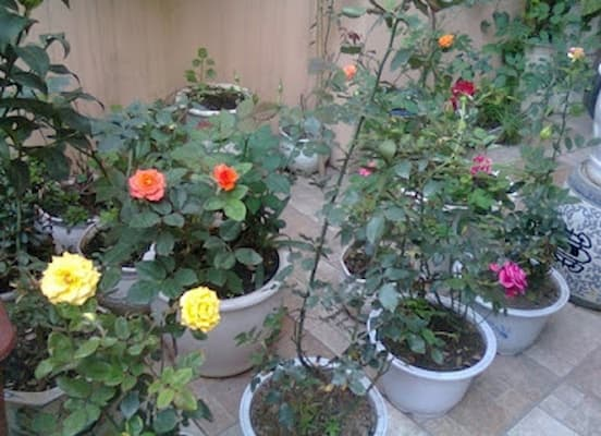 trồng hoa hồng vào chậu