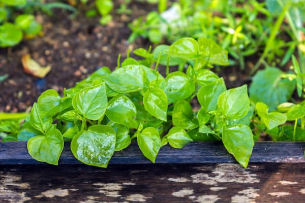trồng rau càng cua thủy canh