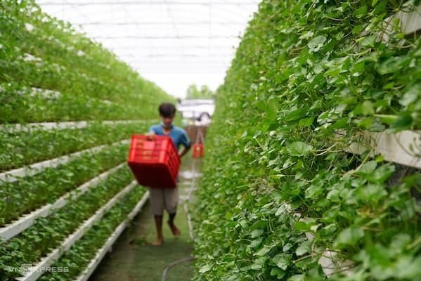 trồng rau má thủy canh