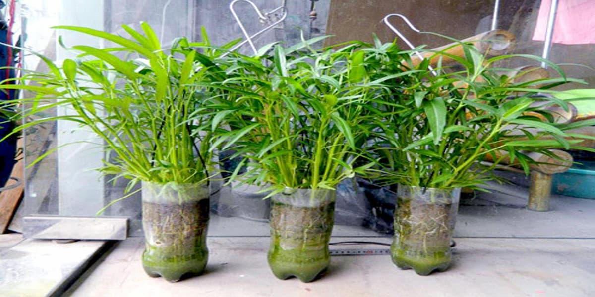 trồng rau thủy canh bằng chai nhựa