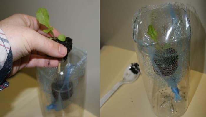 trồng rau thủy canh vào chai nhựa