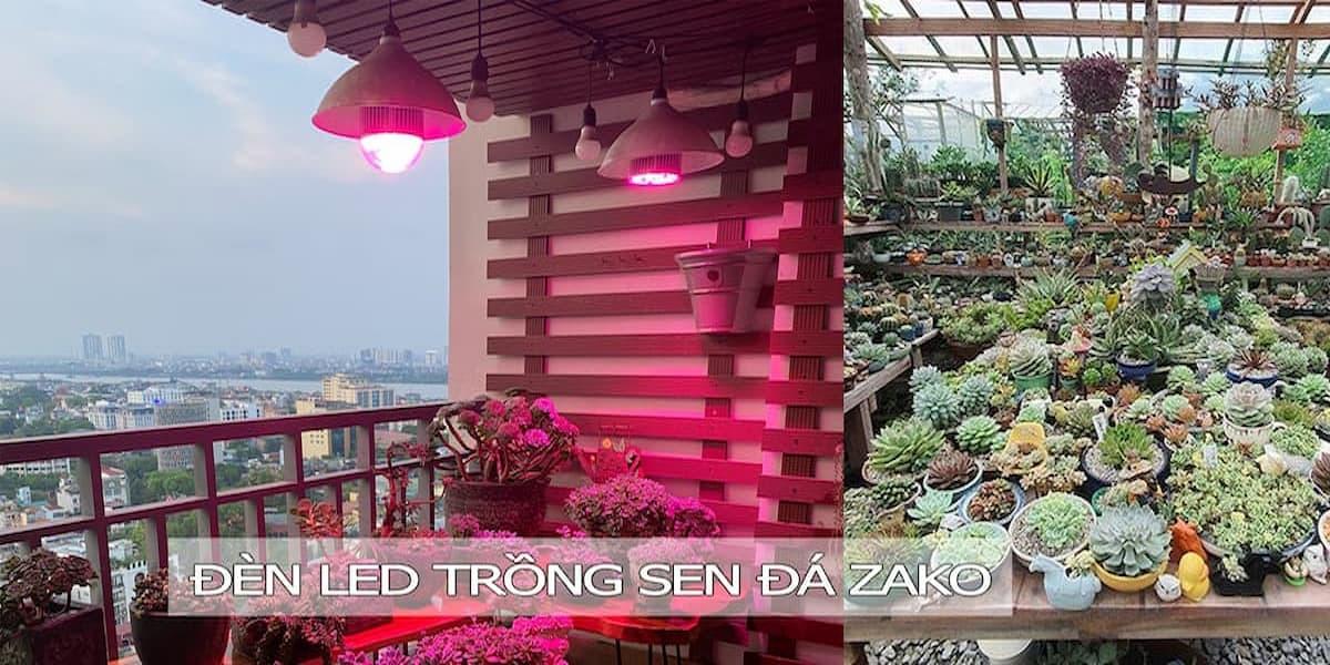 trồng sen đá bằng đèn led zako