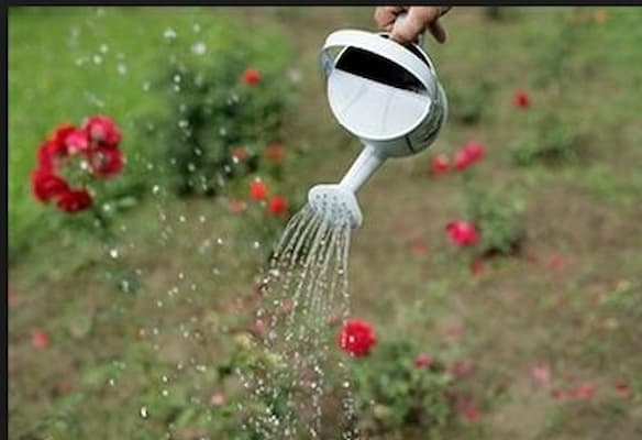 tưới nước cho hoa hồng huntington