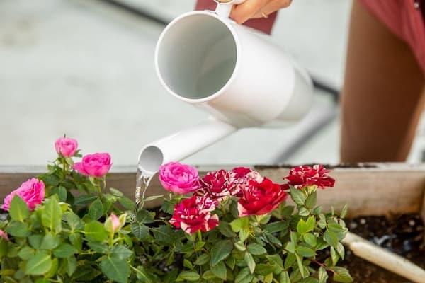 tưới nước cho hoa hồng