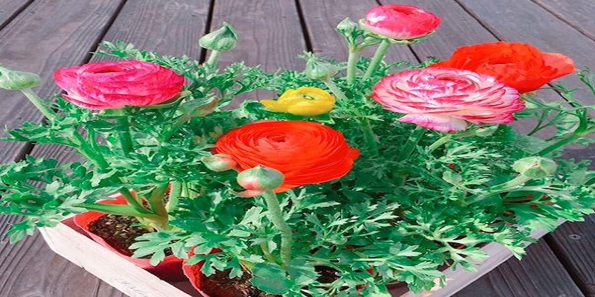 vẻ đẹp của hoa hồng ri ba tư