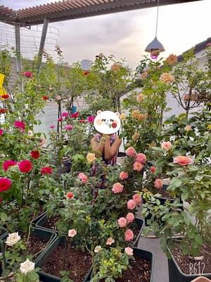 vườn hồng nhà chị hương giang sau khi sử dụng đèn led zako