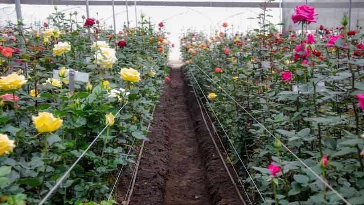 xây dựng hệ thống trồng hoa hồng